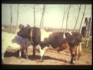 inekler tekrar